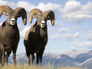 Bighorn Sheep Jasper National Park Canada