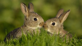 Two Young Rabbits Touch Noses
