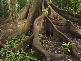 Buttress Roots2C Eastern Amazon2C Ecuador