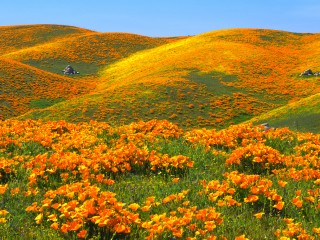 California Poppies and Rolling Hills