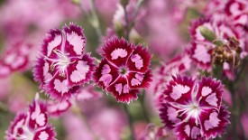 Cranberry Ice, Dianthus