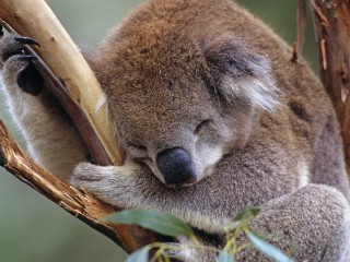 Do Not Disturb Koala Healesville Sanctuary Victoria Australia