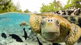 Face to Face with Green Sea Turtles