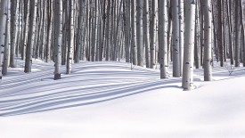 Forest in Winter, Colorado, USA