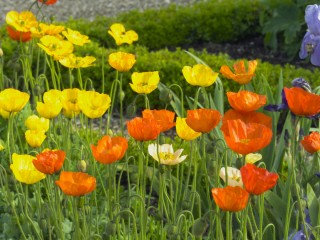 Iceland Poppies And Iris