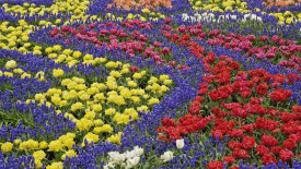 Pattern in tulips and grape hyacinth flowers, Kuekenhof Gardens, Netherlands