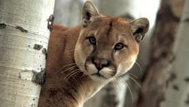 A Watchful Cougar