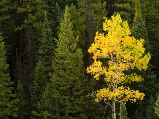 A lone Aspen tree stands out with its bright yellow leaves