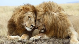 Two male lions Panthera leo lying side by side, Masai Mara National Reserve, Kenya