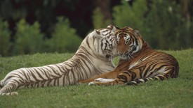 Affectionate Pair Bengal Tigers India