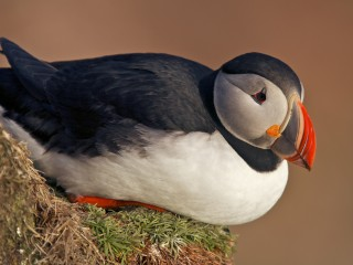 Iceland, NW Fjords, Latrabjarg, Atlantic Puffin (Fratercula arctica) at sunset