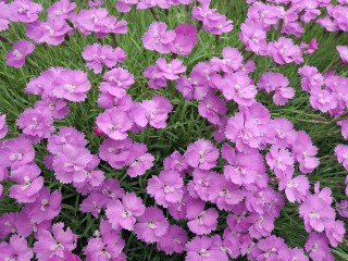 Common Pink, Dianthus Plumarius in Garden, Franconia, Bavaria, Germany