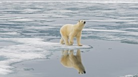 A polar bear sow hunts for seals amidst the sea ice floating off the coast of Svalbard, Norway, in summertime
