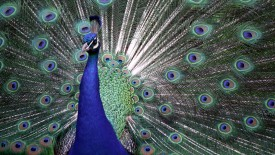 The_Colors_of_Pride _Proud_Peacock