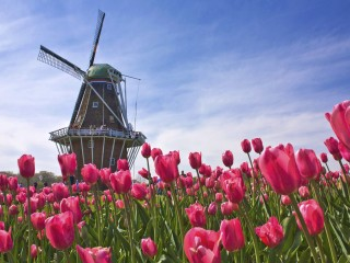 Annual tulip festival at Windmill Island Park