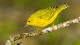Yellow Warbler (dendroica petechia )