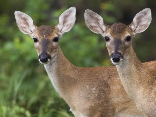 Young_Fawns_White-Tailed_Deer_Texas