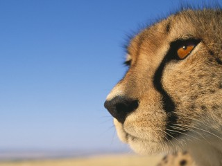 Close-up of Cheetah