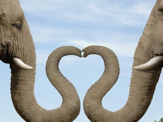 Elephants Making Heart Shape with Trunks