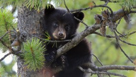 Tiny black bear cub (Ursus americanus)