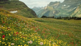 Alpine Wildflowers in Glacier National Park