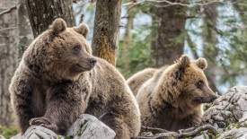Brown Bears, Slovenia