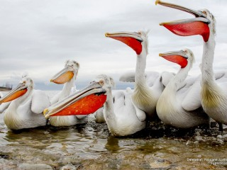 Dalmatian Pelicans, Lake Kerkini, Greece