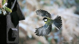 Great Tit Coming Home
