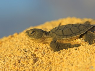 Green Turtle Hatchling, Ascension Island