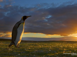 King Penguin at Sunset, Falkland Islands