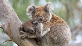 Koala Mother and Baby, Great Otway N.P., Victoria, Australia