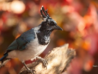 Magpie Jay in Autumn