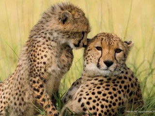 Mother and Young Cheetahs, Masai Mara Reserve, Kenya