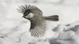 Mountain Chickadee in Flight, Yellowstone, Wyoming
