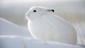 Snow Hare, Churchill, Manitoba