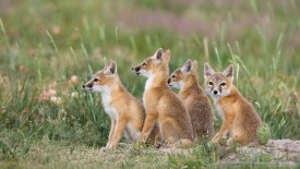 Swift Fox Kits, Near Pawnee National Grassland, Colorado