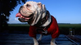 Uga V, Mascot of the University of Georgia