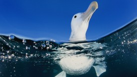 Underwater View of a Wandering Albatross, New Zealand