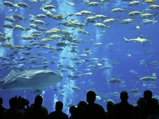 Whale Shark and Crevalle Jacks, Georgia Aquarium, Atlanta, Georgia