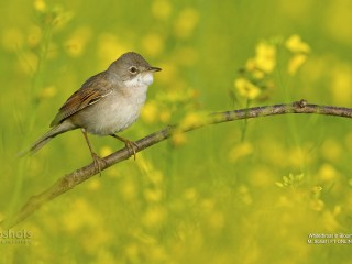 Whitethroat in Blooming Rope Field