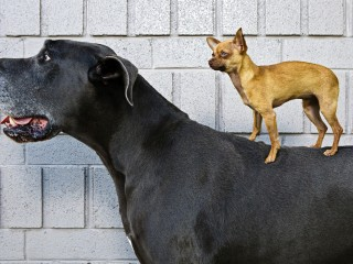 Who's the Boss_ Chihuahua and Great Dane