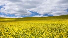 Canola Rapeseed in the Palouse Colfax Washington
