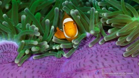 Clown Anemone fish and a Sea Anemone