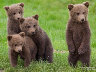 European Brown Bear Cubs, Sweden