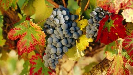 Harvest Time La Rioja Spain