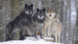 Timber Wolves, Canada