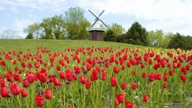 Tulip Festival in Holland, Michigan