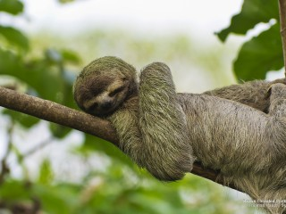 Brown-Throated Sloth, Costa Rica