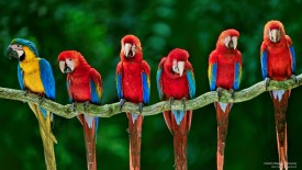 Colorful Macaws, Peruma