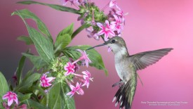 Ruby-Throated Hummingbird and Pink Pentas